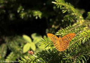 Schmetterling im Sennbachriet